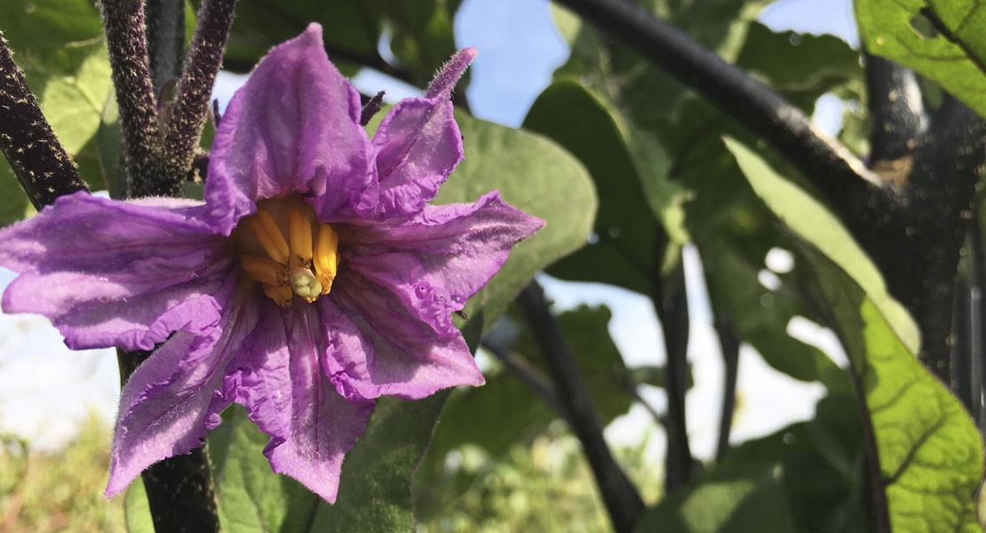 fiore-di-melanzana-agricoltura-monastir-sardegna-cagliari