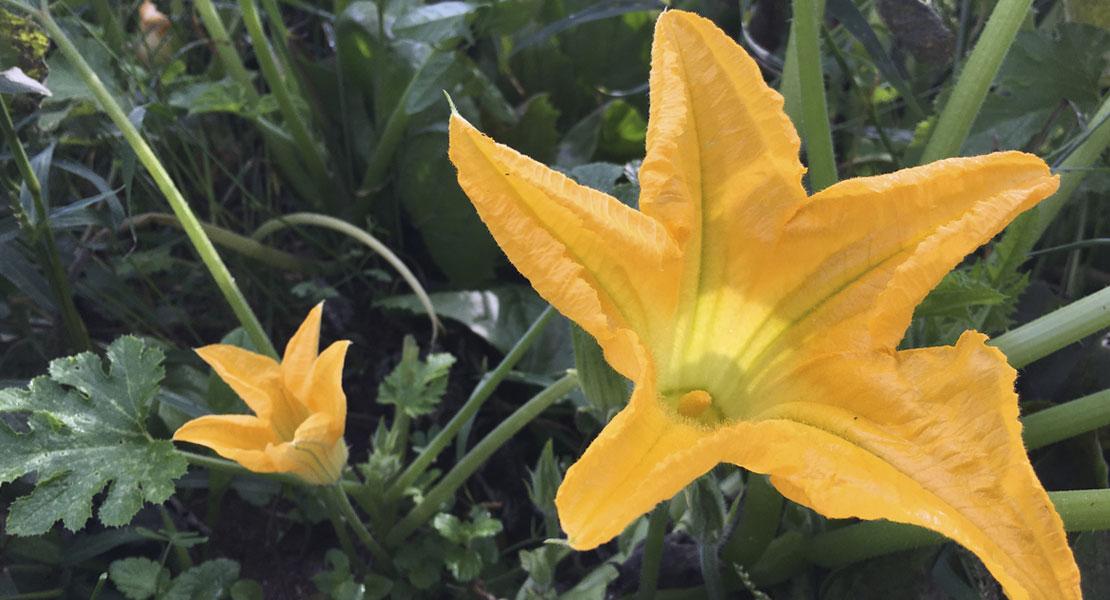 fiore-di-zucchina-agricoltura-monastir-cagliari-sardegna