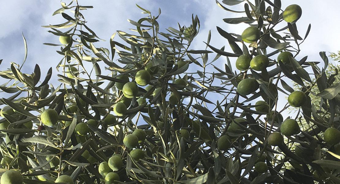 produzione-olive-monastir-cagliari-sardegna