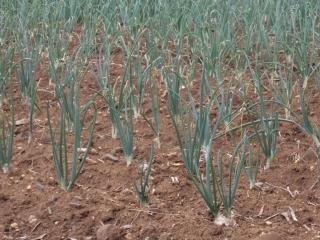prodotti-agricoli-monastir-cagliari-cipolle