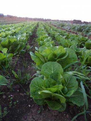 prodotti-agricoli-monastir-cagliari-insalata