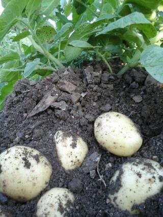 prodotti-agricoli-monastir-cagliari-patate
