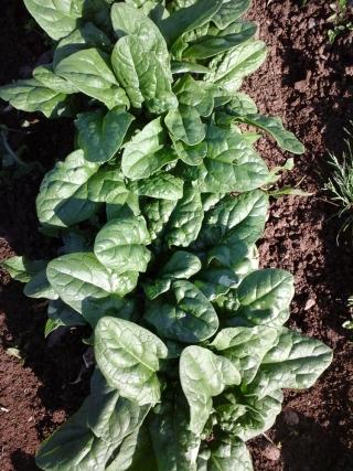 prodotti-agricoli-monastir-cagliari-spinaci