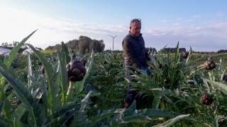 carciofi-agricoltore-monastir-cagliari-15