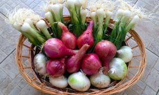 cipolle-agricoltore-monastir-cagliari-21