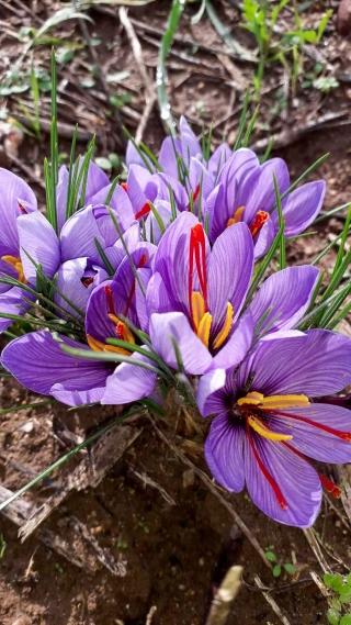 fiori-di-zafferano-agricoltore-monastir-cagliari-16