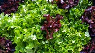 insalata-agricoltore-monastir-cagliari-11