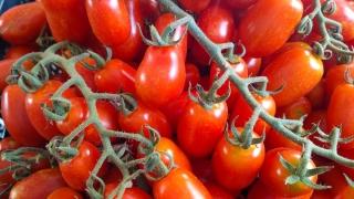 pomodori-agricoltore-monastir-cagliari-20