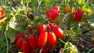 pomodori-agricoltore-monastir-cagliari-4
